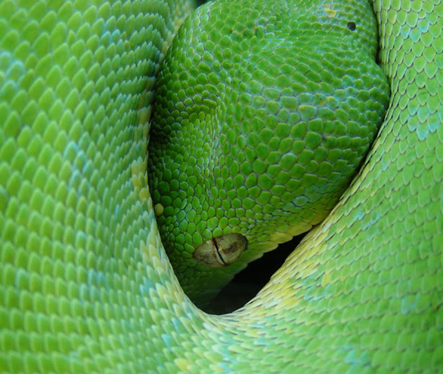 http://www.erinkoski.com/images/Tree_Python001.jpg